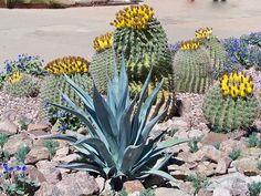 Blooming cactus-Desert Botanical Gardens