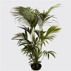 9 Best Plants Images Bamboo Palm Christmas Crafts Christmas
