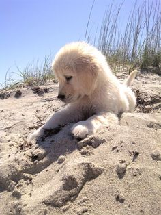 Golden puppy in the sand on the beach!