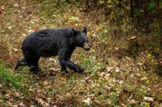 Bear at Cades Cove, GSMNP 2015