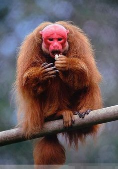 red Uakari?have you ever seen this ?