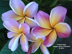 Purple Haze: This plumeria couldn't decide whether it wanted to be purple or yellow, so it compromised in a unique way.