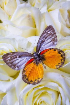 Pretty Butterfly on white flower