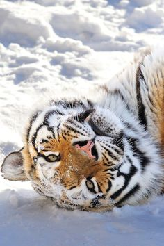 theperfectworldwelcome:funnywildlife:Siberian Tiger by Ryu Jong SoungBeautiful !!! \O/
