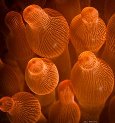 Sea anemone ( Entacmaea quadricolor ) Maeda point, Okinawa