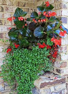 Red Dragonwing Begonia, 'Deep Red' Tuberous begonia, Creeping Wirevine. Light Requirements: Partial Shade!