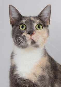 Meet Bliss, a Petfinder adoptable Tortoiseshell Cat | Spearfish, SD | Bliss is right around 2 years old, she likes to be pet but not held terribly much.  She might...