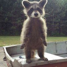 wow cute little raccoon. I can hear in little raccoon voice : what up bro ; Cute Creatures, Beautiful Creatures, Animals Beautiful, Nature Animals, Animals And Pets, Animals Images, Strange Animals, Farm Animals, Cute Baby Animals