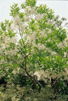 Native to areas of Eastern North America fringe tree is a versatile plant you can grow as a large shrub or small tree. Native to areas of Eastern North America fringe tree is a versatile plant you can grow as a large shrub or small tree. Garden Shrubs, Garden Trees, Shade Garden, Backyard Trees, Garden Ponds, Garden Oasis, Trees And Shrubs, Flowering Trees, Dwarf Trees