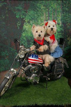 Only thing better than a Westie is two Westies!