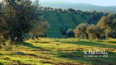 Olivar Santo Domingo olivegrove