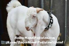 Meray Dill say Iska Naam White Pearl Rakhnay ko Ker rha hai ! Yeh hai Abbie Bhai ka Bakra ! Mashaa Allah Bohaattttt Khubsorrat hai ! Share Laazmi kerna Members! Join us on www.fb.com/Startfun Visit us www.BakraMandiPakistan.com