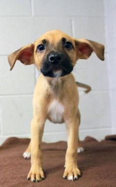 Shelter puppy has adorable ears! Him and his Siblings need a home, click the link if you're interested *Available in Hopkinsville, KY*