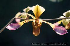 Orchid: Paphiopedilum lowii