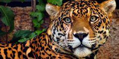 Símbolo da fauna brasileira, a onça-pintada está em sério risco de extinção - greenMe.com.br