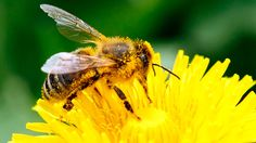 US approves new pesticides linked to mass bee deaths as EU enacts ban