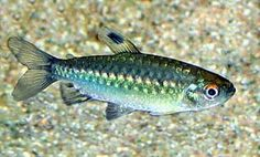 African Red-eyed Tetra (Arnoldichthys Spilopterus)