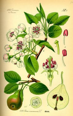 Vintage Ephemera: Botanical plate, Pear - 1885