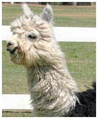 Lilly of the Valley Alpaca Farm- Suri and huacaya alpacas-2912 Church Street Modesto, California 95357  Phone: 209-577-3638