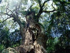 This camphor tree is in back of Takeo Shrine in Takeo City, Saga Pref. The 3000-year-old tree is the 6th biggest tree in Japan. There is a large hollow with an area of about 16 square meters at the bottom of the tree; inside which is a small shrine and it is worshipped by the local people still now.
