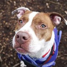 DJ is an adoptable Pit Bull Terrier Dog in Vancouver, BC. DJ is a man about town! This little Pitty is a popular guy here at the shelter! Don't mistake his quiet demeanour in his kennel for lack of pe...