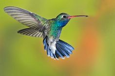 broad billed hummingbird  (photo by mama-knows)