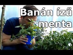 Menta sp. - Banán ízű menta