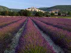 The Lavender Fields in France.
