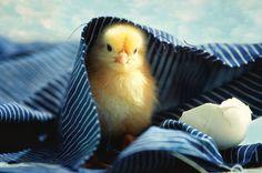Kleines Küken frisch aus dem Ei