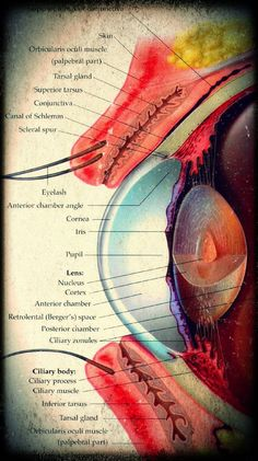 Medical and Health Science: Eye Anatomy Arte Com Grey's Anatomy, Eye Anatomy, Body Anatomy, Medical Coding, Medical Science, Medical Students, Nursing Students, Medical Anatomy, Human Anatomy And Physiology