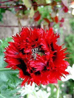 Poppy Papaver 'Naughty Nineties'