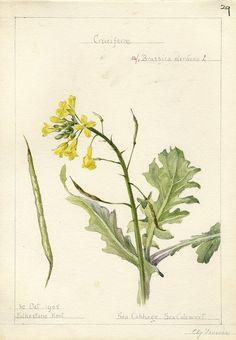 Brassica oleracea, Kent 1905 by peacay, via Flickr