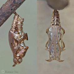 different views of a pupa of the Lance Sergeant.Two different views of a pupa of the Lance Sergeant. Butterfly Pupa, Butterfly Chrysalis, Butterfly Dragon, Monarch Butterfly, Beautiful Bugs, Beautiful Butterflies, Amazing Nature, Cool Insects, Bugs And Insects