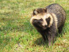Tanuki is a Japanese (raccoon dog) and I want one!