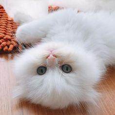 起きた 😶🙄💤 #ブリティッシュ #ぎゅうちゃん #猫 #子猫 #可愛い #白い #真っ白 #ふわふわ #雲みたい #愛猫 #耳 #ソフト #耳 #目 #青 #white #blue #eyes #gyuuchan #ホーチミン #ベトナム