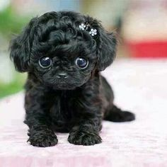 Teacup poodle...why are you not mine?