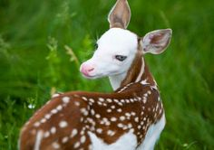 From rejection to stardom, white-faced fawn taking it all in stride | MLive.com