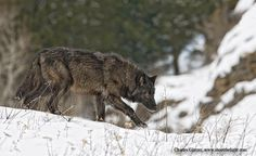 Black wolf by Charles Glatzer, via 500px