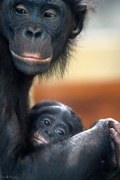 Bonobo mom and baby.