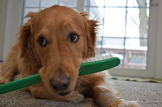 Its Dog Dental Health month! With so many dog dental chews at Petsmart, it can be hard to pick the perfect one. Our choice, BLUE Bones®, the only dental chew that also has ingredients used to support joint, heart, and immune system health!
