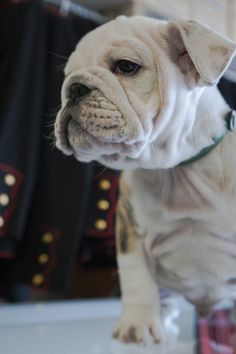Chesty XIV of the Marine Corps (photo taken 3/2013 @ 9 mths old).