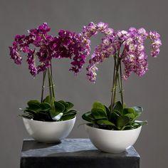 Орхидея — это любимый цветок многих цветоводов. Он считается очень требовательным. Однако многие орхидеи хорошо растут в доме и без особого ухода. Если ты хочешь, чтобы твое жилище превратилось в целую оранжерею с цветами, не нужно сильно тратиться. Мы подскажем тебе, как превратить 1 цветок в 100. Те, кто уже опробовали этот метод, не могут налюбоваться красотой орхидей в своем