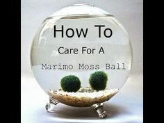 Tank specs: How does a moss ball benefit your fish tank?: Maintenance: Do you have a healthy moss ball? Marimo Moss Ball Terrarium, Garden Terrarium, Succulent Terrarium, Terrariums, Water Terrarium, Indoor Water Garden, Indoor Plants, Indoor Gardening, Air Plants