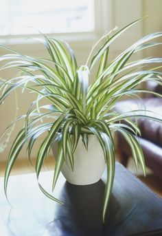 They minimize allergies. SPIDER PLANT...in two days, this plant can eliminate almost 90% of allergens.