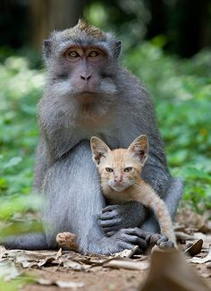 A wild long-tailed macaque monkey has adopted an abandoned kitten, caring for it as his own at Monkey Forest in Ubud, Bali