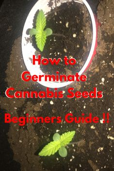 The easiest method I found to germinate cannabis seeds. It has a success rate so far and more beginner growers need to learn about it. I wrote a step by step beginners guide on how to germinate cannabis seeds. Hope you enjoy ! Marijuana Plants, Cannabis Plant, Weed Recipes, Cannabis Cultivation, Growing Herbs, Seeds, Garden Tips, Garden Projects, Places