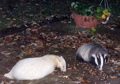 Erythristic badgers are very rare, and have a very slight genetic difference from 'normal' badgers. Their hair colour is ,most often slightly red/ginger, though there are variations.