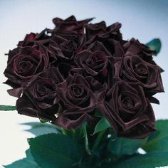 black bacarra red rose Omgosh i think  I love these more than the black magic roses❤❤❤❤