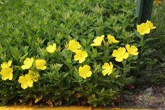 wiesiołek czworokątny (łac. Oenothera tetragona) kod: 1292 - Szkółka bylin Bergenia – Byliny, Kwiaty, Rośliny | Sadzonki