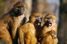 #animal portrait #animals #ape #berber monkeys #call #cohesion #cry #excitement #girlfriends #joy #scream #three monkeys